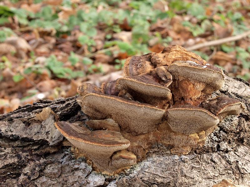 rezavec lesknavý – Inonotus radiatus, Blanensko - foto: Jiřina Hrabáková