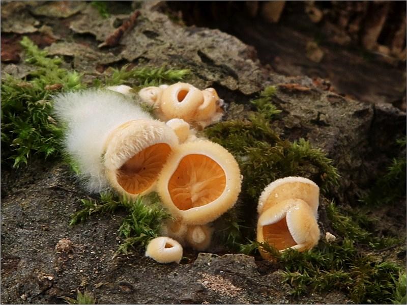 hlíva hnízdovitá – Phyllotopsis nidulans, Českokrumlovsko - foto: Věra Hyráková