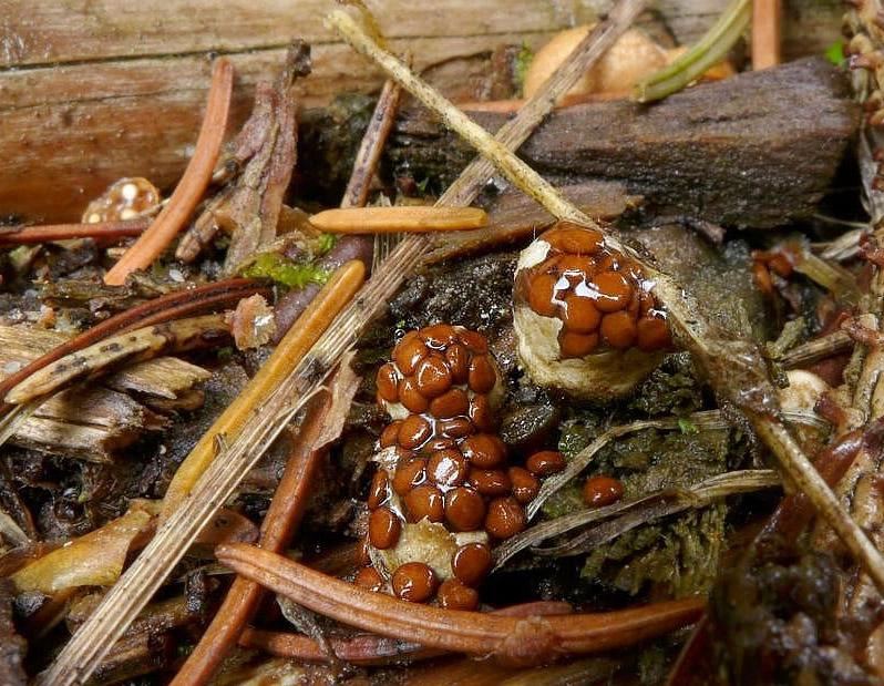 hnízdovka nacpaná – Nidularia deformis, Uhlířské Janovice - foto: Petr Souček