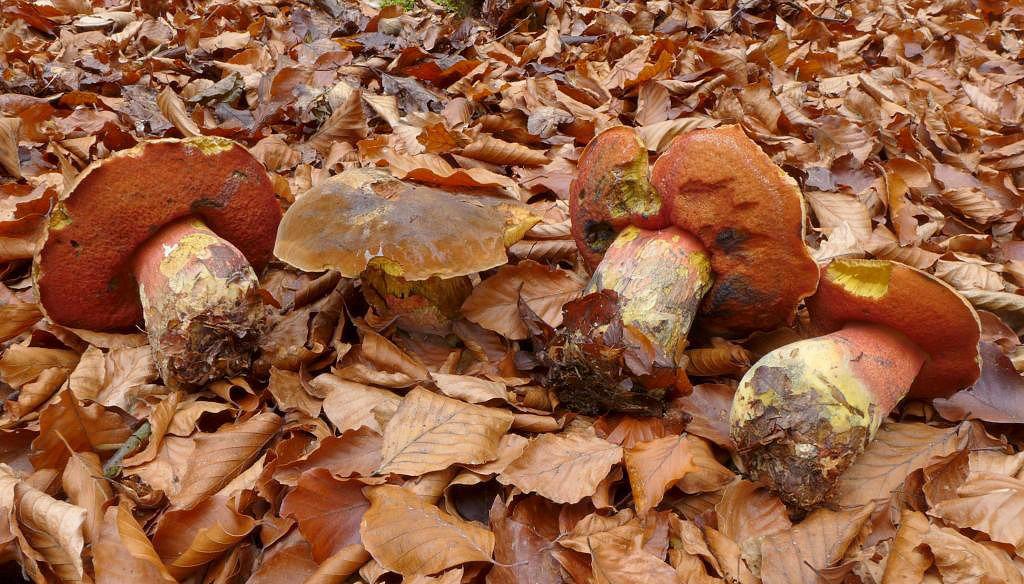 hřib kovář – Neoboletus luridiformis, Uhlířské Janovice - foto: Petr Souček