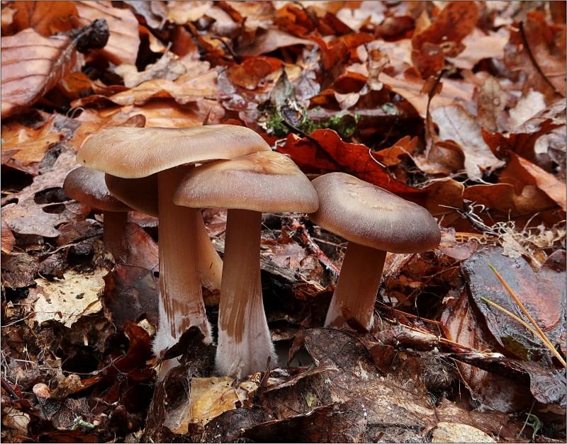 penízovka máslová – Rhodocollybia butyracea, Českokrumlovsko - foto: Věra Hyráková
