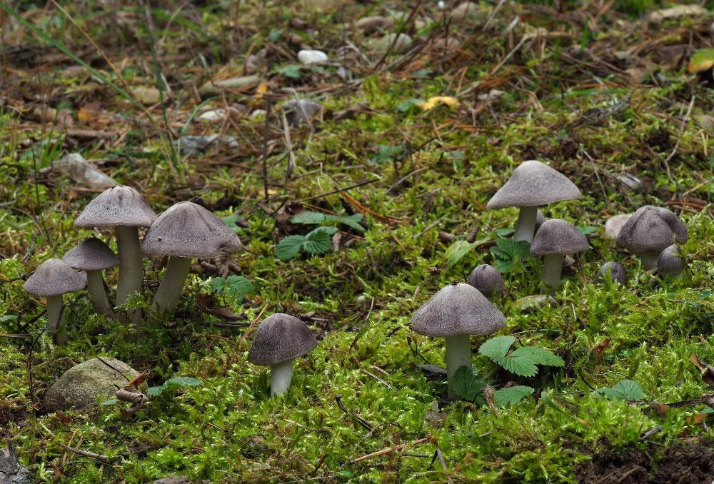 čirůvka zemní – Tricholoma terreum, Podorlicko - foto: Pavel Petelík