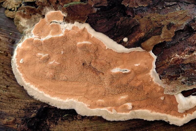 dřevokaz borový – Gloeoporus taxicola, Brněnsko - foto: Jiřina Hrabáková