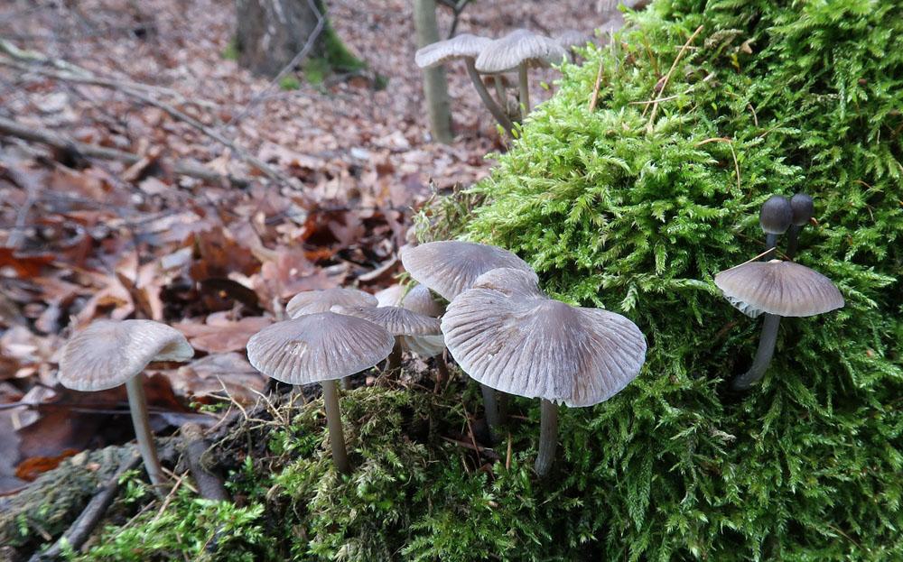 helmovka tuhonohá – Mycena galericulata, Praha-Motol - foto: Markéta Vlčková