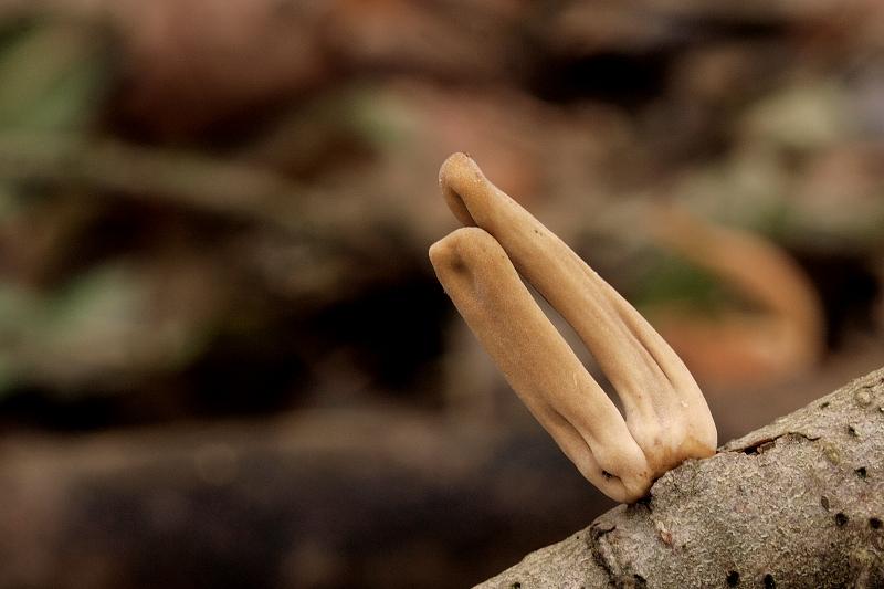 kyj rourkovitý zkroucený – Macrotyphula fistulosa var. contorta, Blanensko - foto: Jiřina Hrabáková