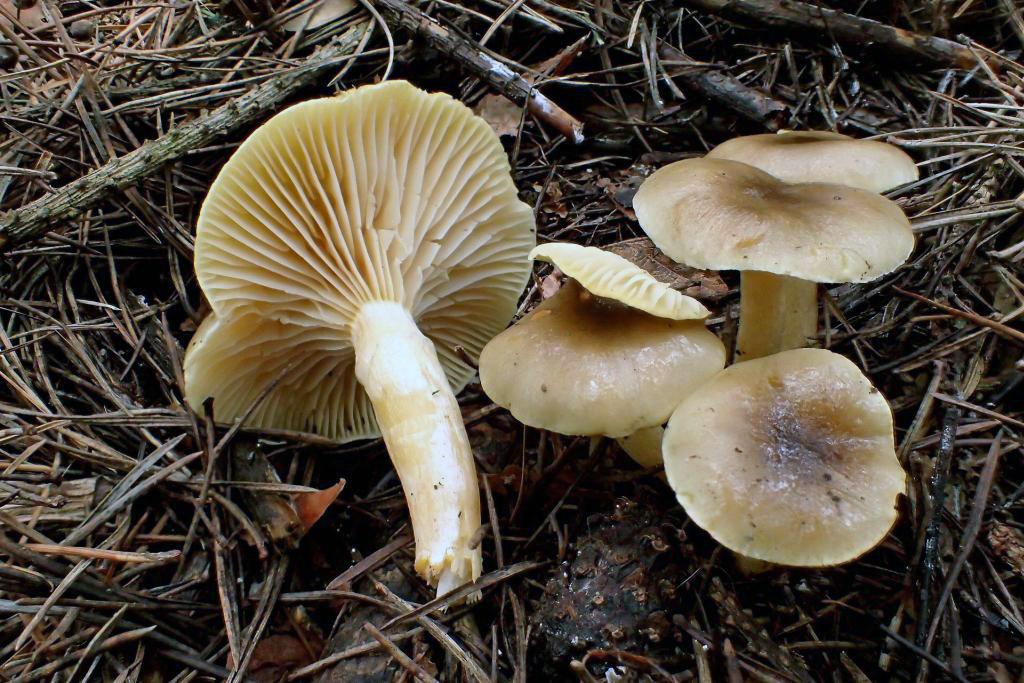 šťavnatka pomrazka – Hygrophorus hypothejus, Praha-Kolovraty - foto: Květa Součková