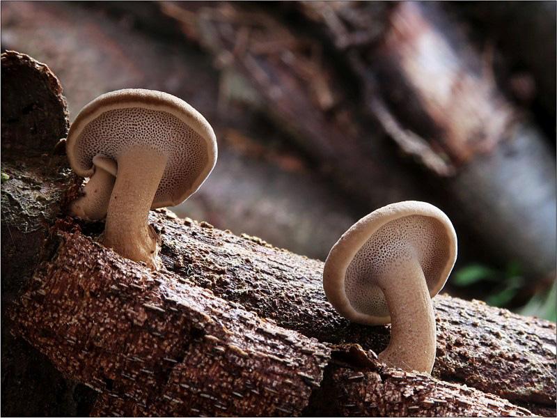 choroš poloplástvový – Polyporus brumalis, Českokrumlovsko - foto: Věra Hyráková