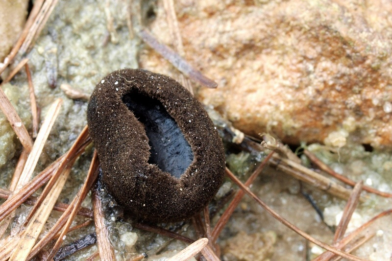 úšíčko černé – Pseudoplectania nigrella, Blanensko - foto: Jiřina Hrabáková