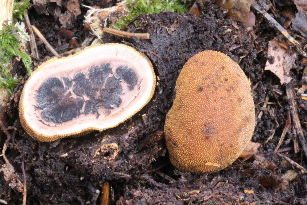jelenka obecná – Elaphomyces granulatus, Plzeňsko - foto: Zdeněk Hájek