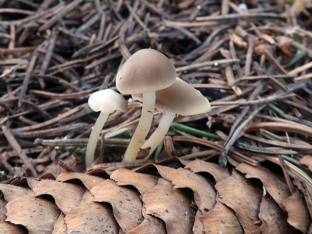 penízovka smrková – Strobilurus esculentus, Dolný Kalník - foto: Markéta Vlčková
