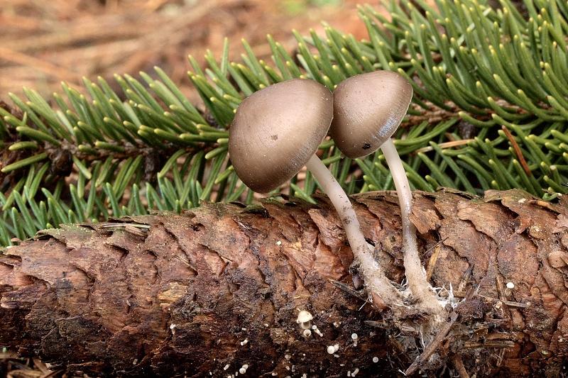 helmovka šiškomilná – Mycena strobilicola, Blanensko - foto: Jiřina Hrabáková