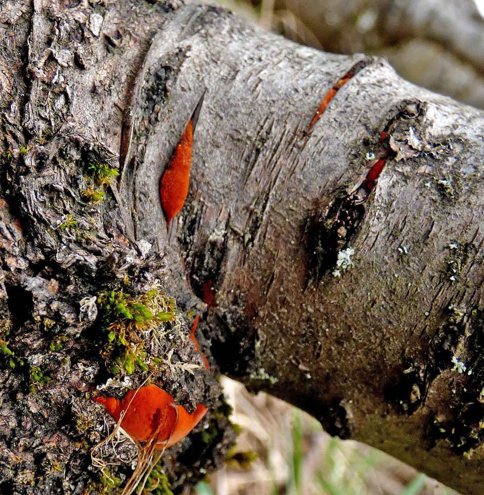 outkovka rumělková – Pycnoporus cinnabarinus, Ralsko - foto: Jiří Vondrouš