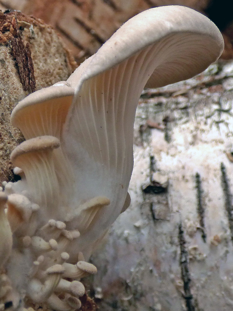 hlíva ústřičná – Pleurotus ostreatus, Čížkovice - foto: Jiří Vondrouš
