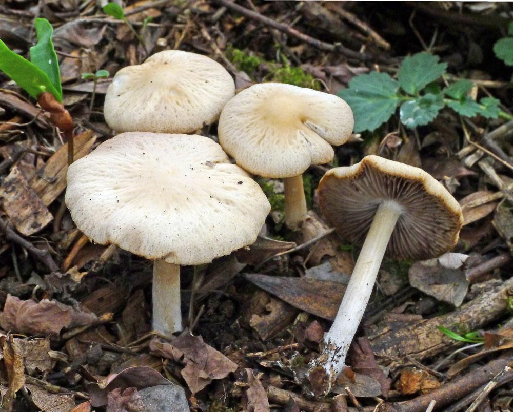 křehutka šedohnědá f. jarní – Psathyrella spadiceogrisea f. vernalis, Český kras - foto: Aleš Vít