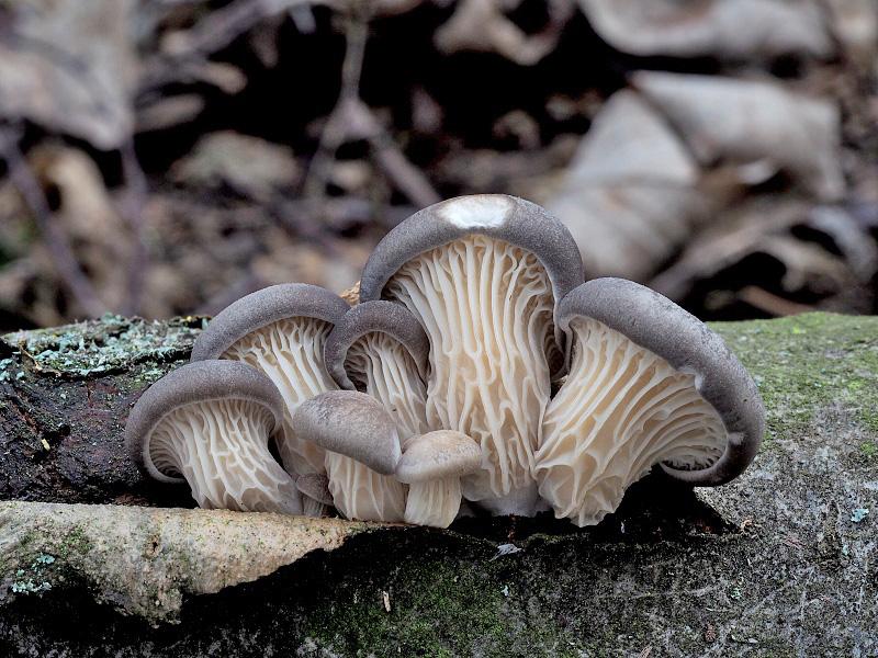 hlíva ústřičná – Pleurotus ostreatus, Brněnsko - foto: Jiřina Hrabáková