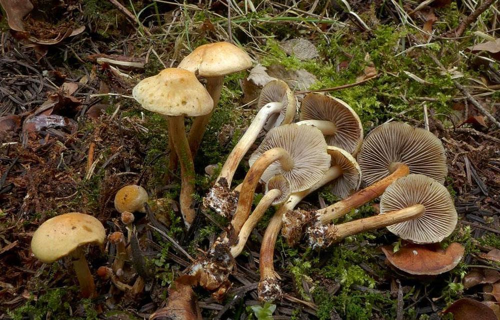 třepenitka maková – Hypholoma capnoides, Sázavsko - foto: Petr Souček