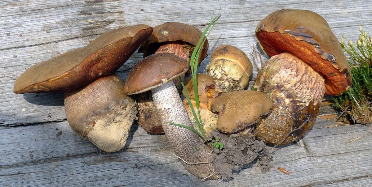 také hřibovité druhy hub už sem tam vykukují