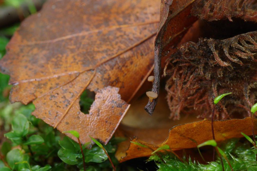 Terčka buková (Rutstremia petiolorum) - foto: Jan Wipler