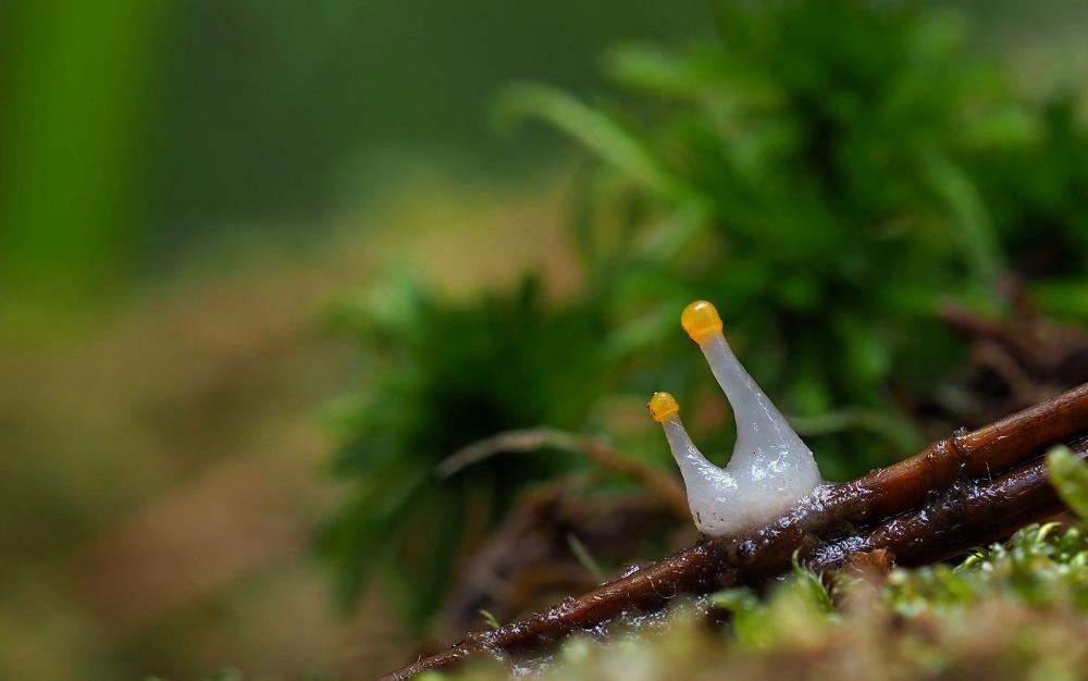 čapulka bahenní – Mitrula paludosa, Podorlicko - foto: Pavel Petelík