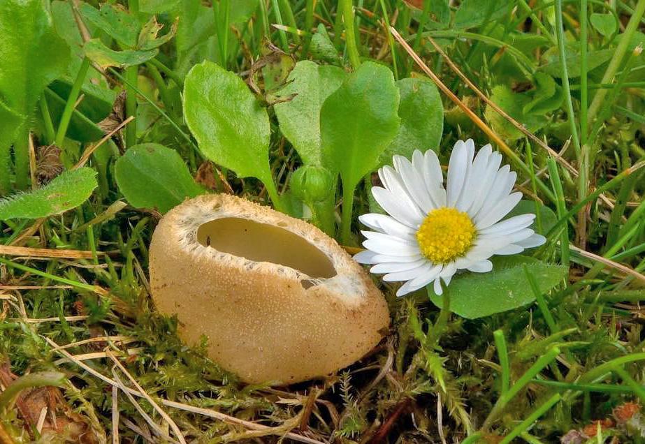 zvonkovka číškovitá závojová – Tarzetta cupularis var. velata, Praha - Kolovraty - foto: Petr Souček