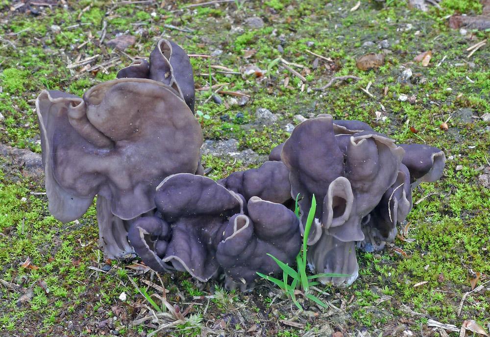 chřapáč jamkatý – Helvella lacunosa, Plchov - foto: Aleš Vít
