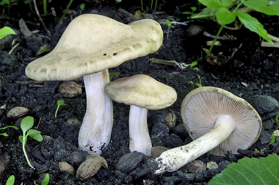 závojenka podtrnka – Entoloma clypeatum, Poděbradsko - foto: Daniel Kvasnička