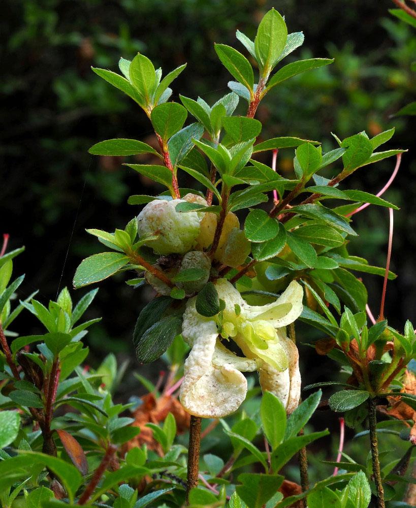 plíška japonská – Exobasidium japonicum, Podorlicko - foto: Pavel Petelík