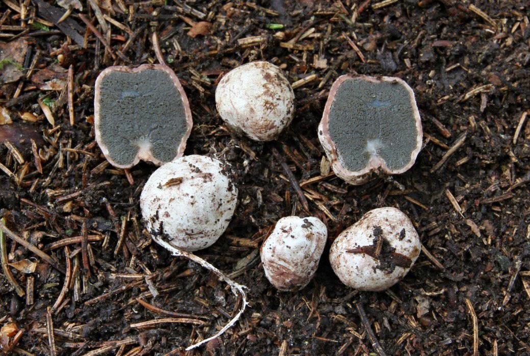 loupavka výběžkatá – Hysterangium stoloniferum, Beskydy - foto: Ladislav Špeta