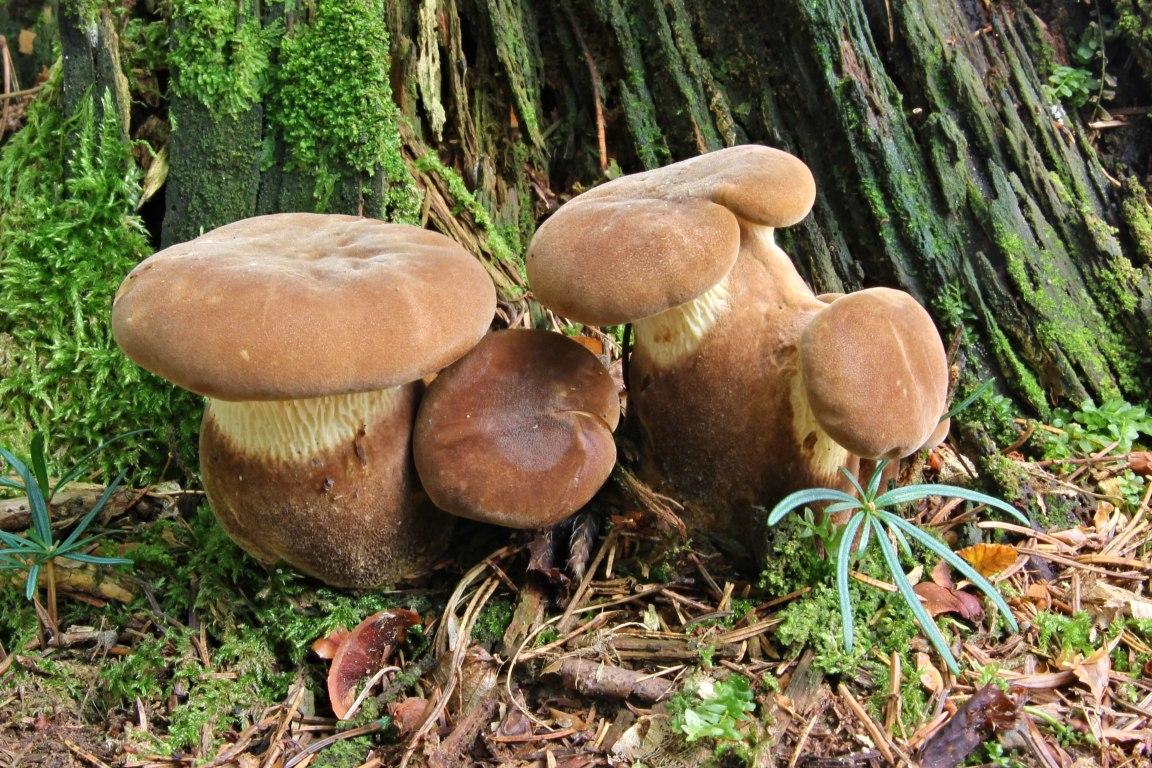 čechratice černohuňatá – Tapinella atrotomentosa, Chřiby - foto: Ladislav Špeta