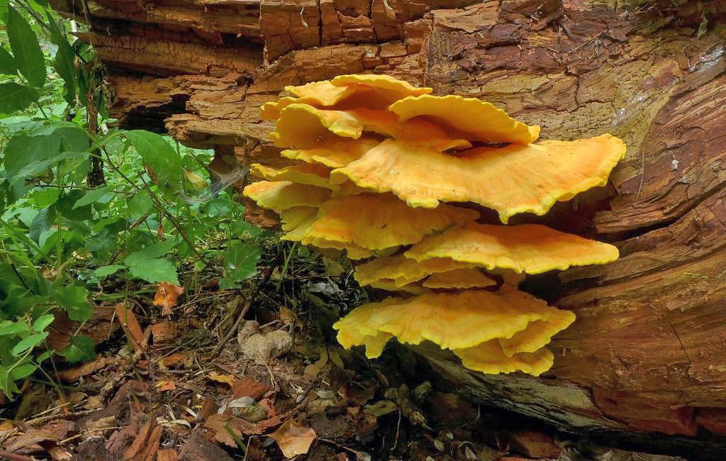 sírovec žlutooranžový – Laetiporus sulphureus, Praha - Koloděje - foto: Petr Souček