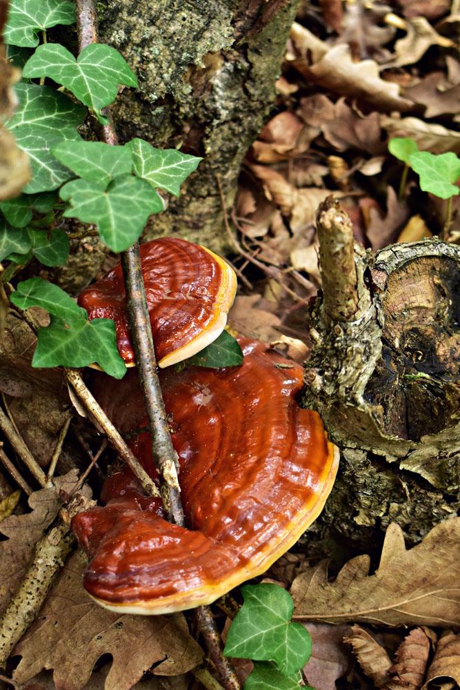 lesklokorka lesklá – Ganoderma lucidum, Burgenland Rakousko - foto: Iva Vondroušová