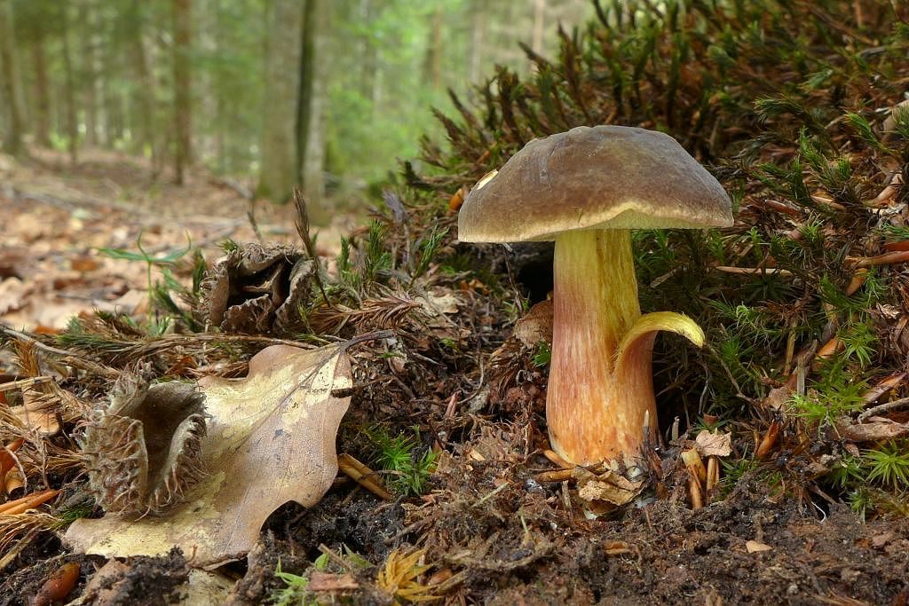 hřib žlutomasý – Xerocomellus chrysenteron, Šumava - foto: Petr Souček