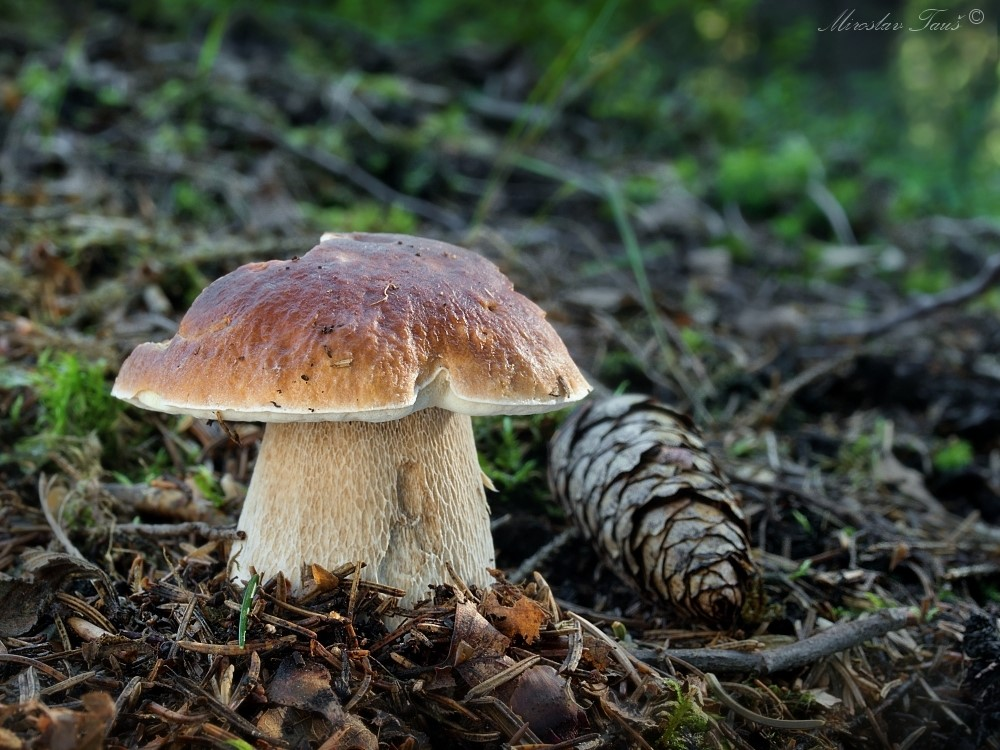 hřib smrkový – Boletus edulis, Chebsko - foto: Miroslav Tauš