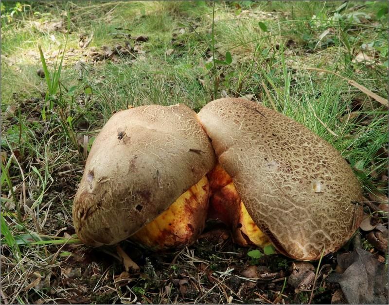 hřib žlutonachový – Imperator rhodopurpureus f. xanthopurpureus, Táborsko - foto: Věra Hyráková