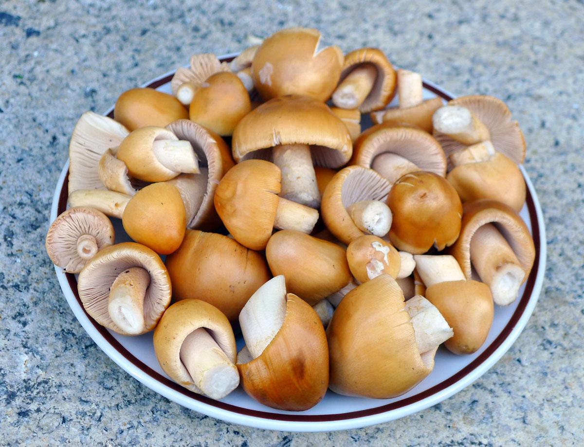 muchomůrky šafránové pro kuchyni - foto: Aleš Vít