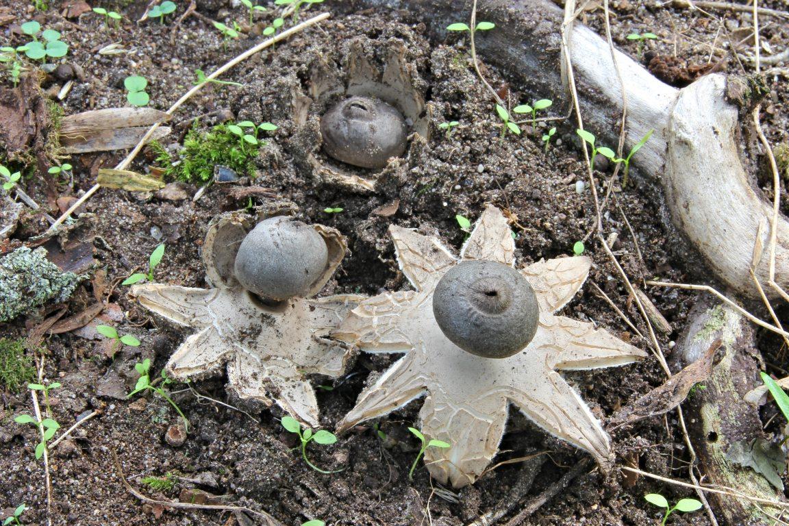 hvězdovka tuhová – Geastrum coronatum, Hodonínsko - foto: Ladislav Špeta