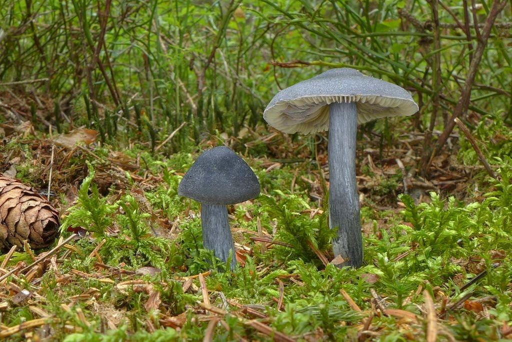 závojenka lesklá – Entoloma nitidum, Šumava - foto: Petr Souček