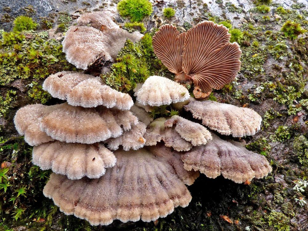 klanolístka obecná – Schizophyllum commune, Ralsko - foto: Jiří Vondrouš
