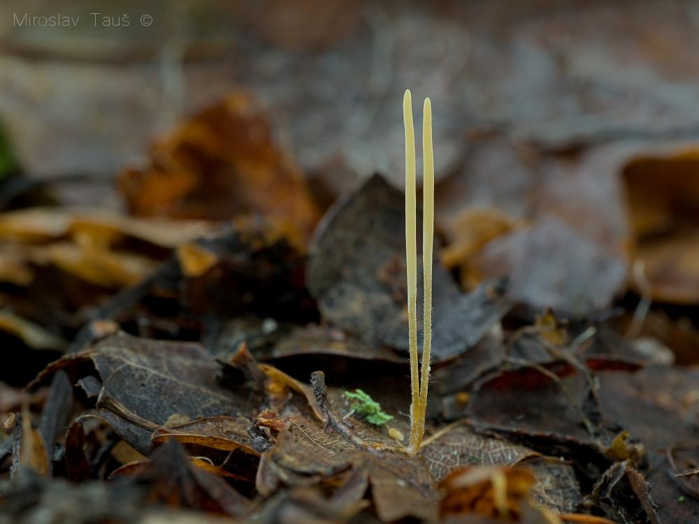 kyj niťovitý – Macrotyphula juncea, Chebsko - foto: Miroslav Tauš