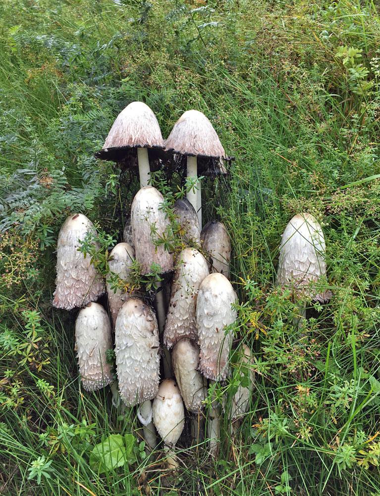 hnojník obecný – Coprinus comatus, Tanvald - foto: Aleš Vít