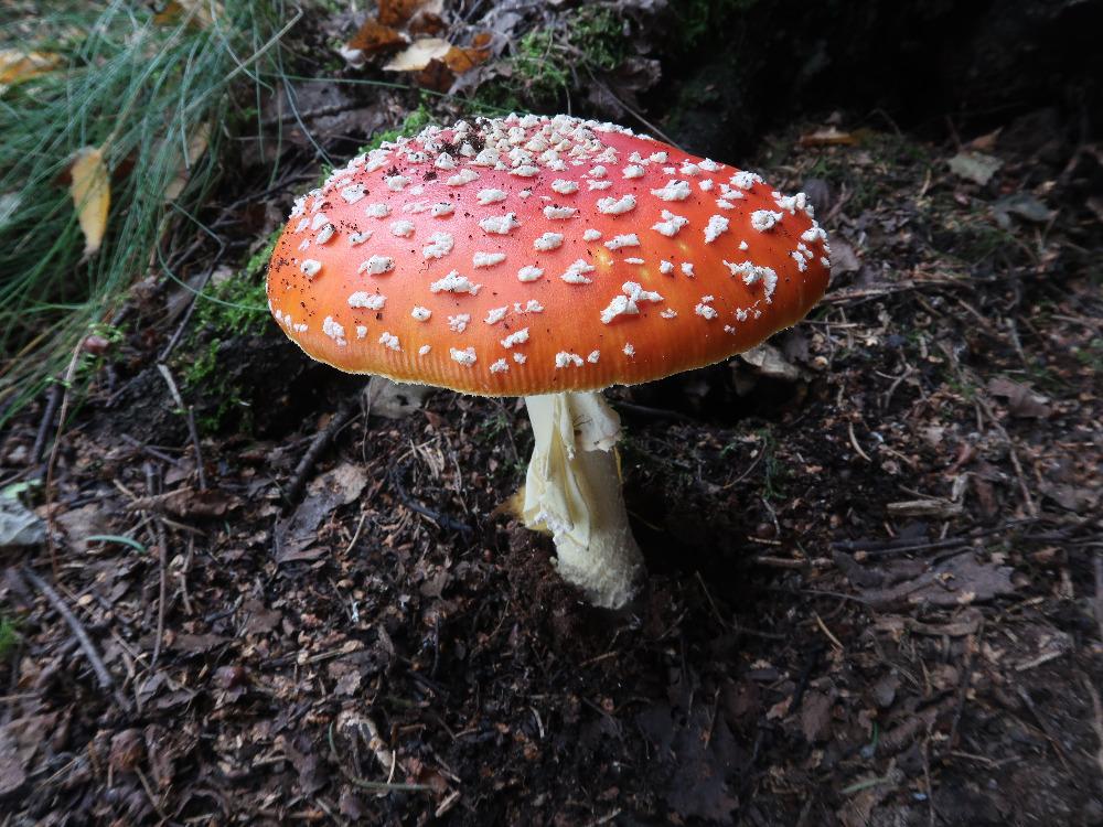 muchomůrka červená, ozdoba našich lesů - foto: Markéta Vlčková