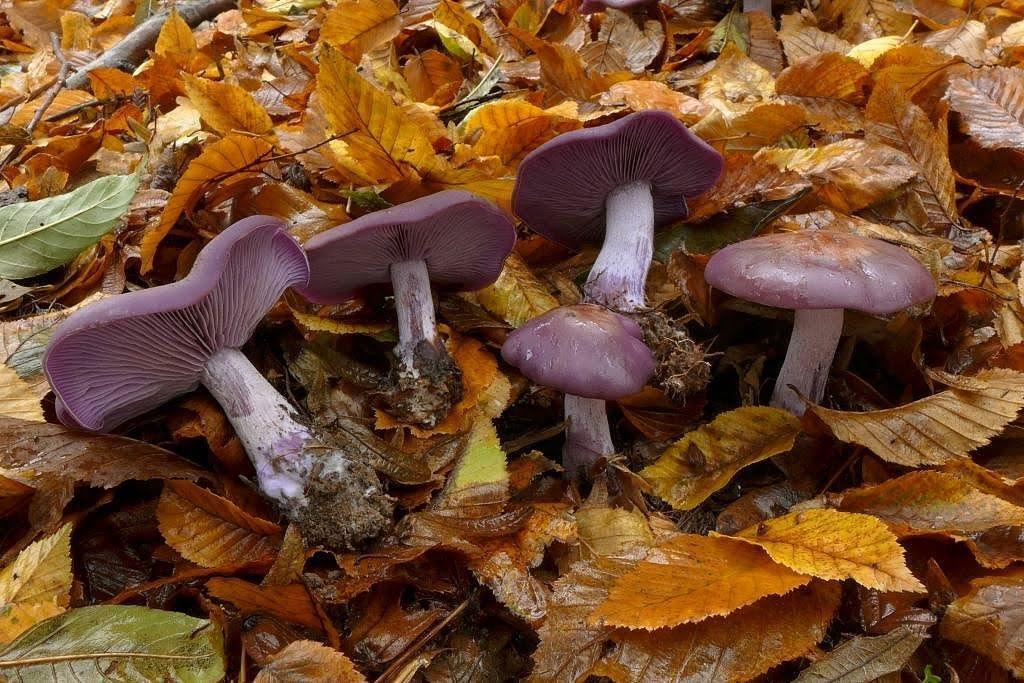 čirůvka fialová (Lepista nuda) - foto: Petr Souček