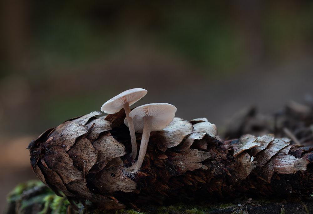 penízečka drobnovýtrusá – Baeospora myosura, Salaš - foto: Milan Němčický
