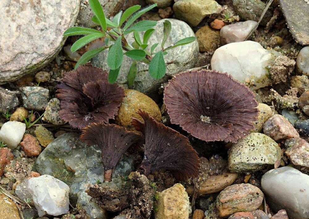 plesňák karafiátový – Thelephora caryophyllea, Podorlicko - foto: Pavel Petelík