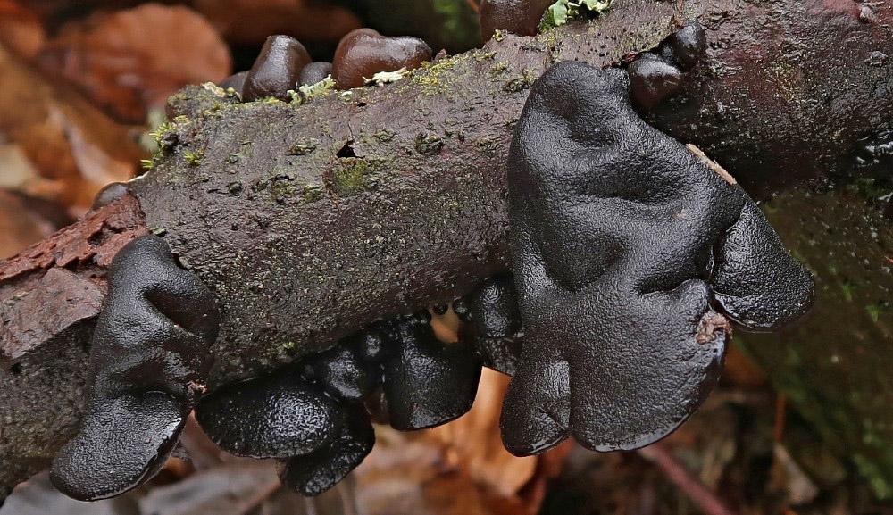 černorosol uťatý – Exidia truncata, Karlovarsko - foto: Miloš Krčil