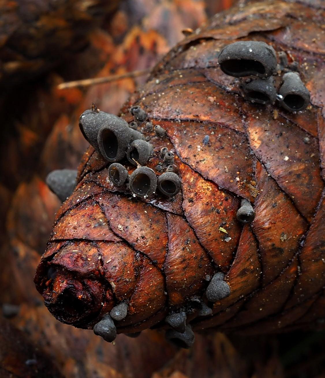 číšovka šišková – Piceomphale bulgarioides - Podorlicko - foto: Pavel Petelík