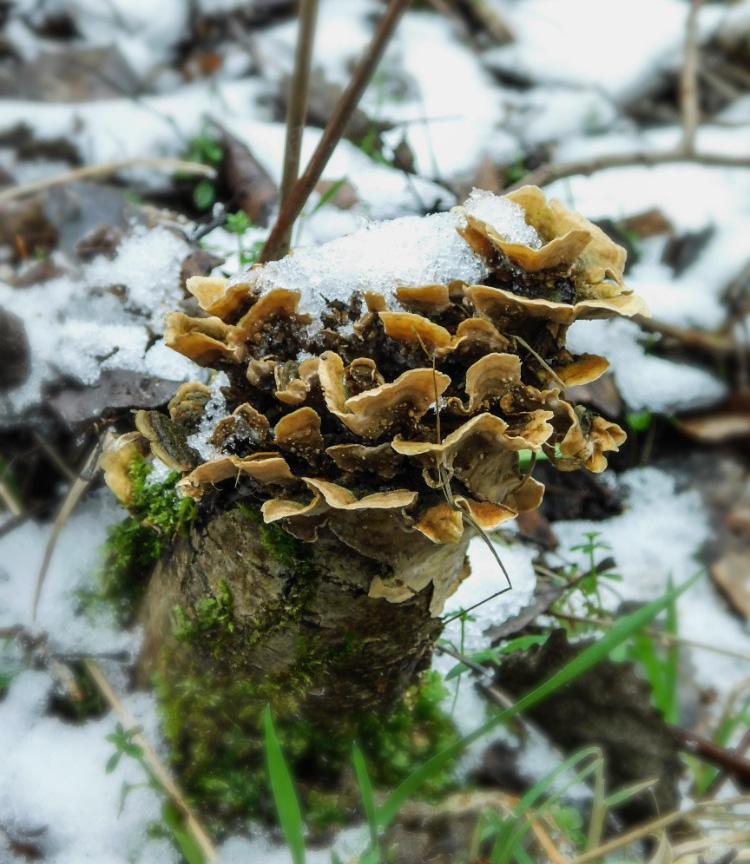 pevník plstnatý – Stereum subtomentosum - Semilsko - foto: Natálie Stránská