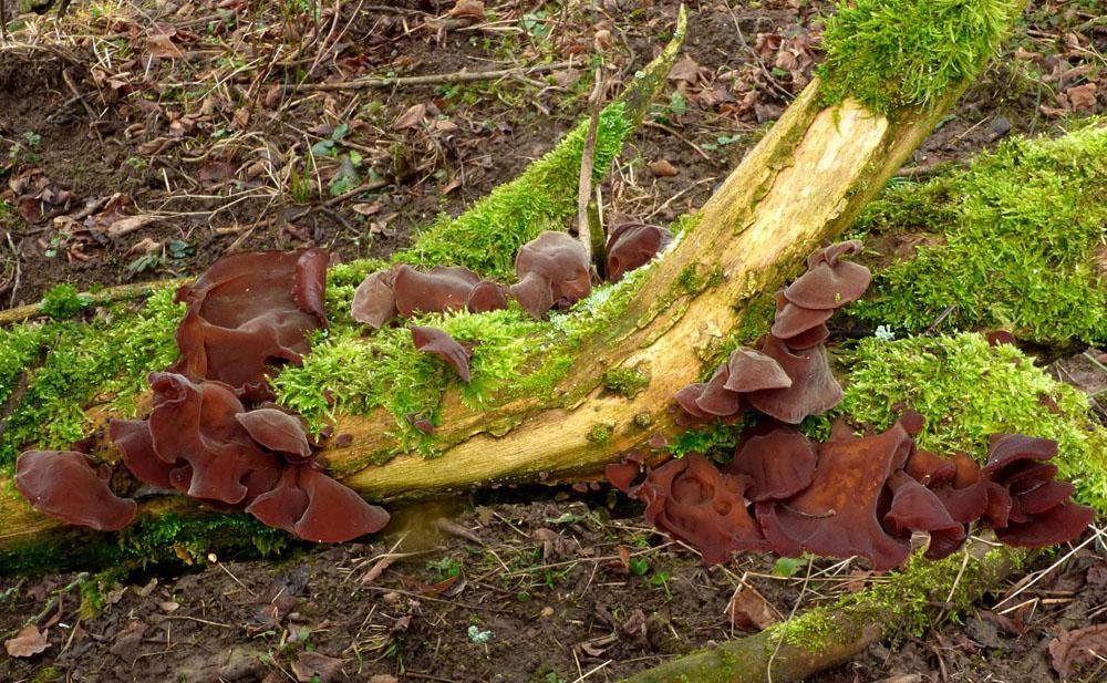 ucho Jidášovo – Auricularia auricula-judae - Ralsko - foto: Jiří Vondrouš