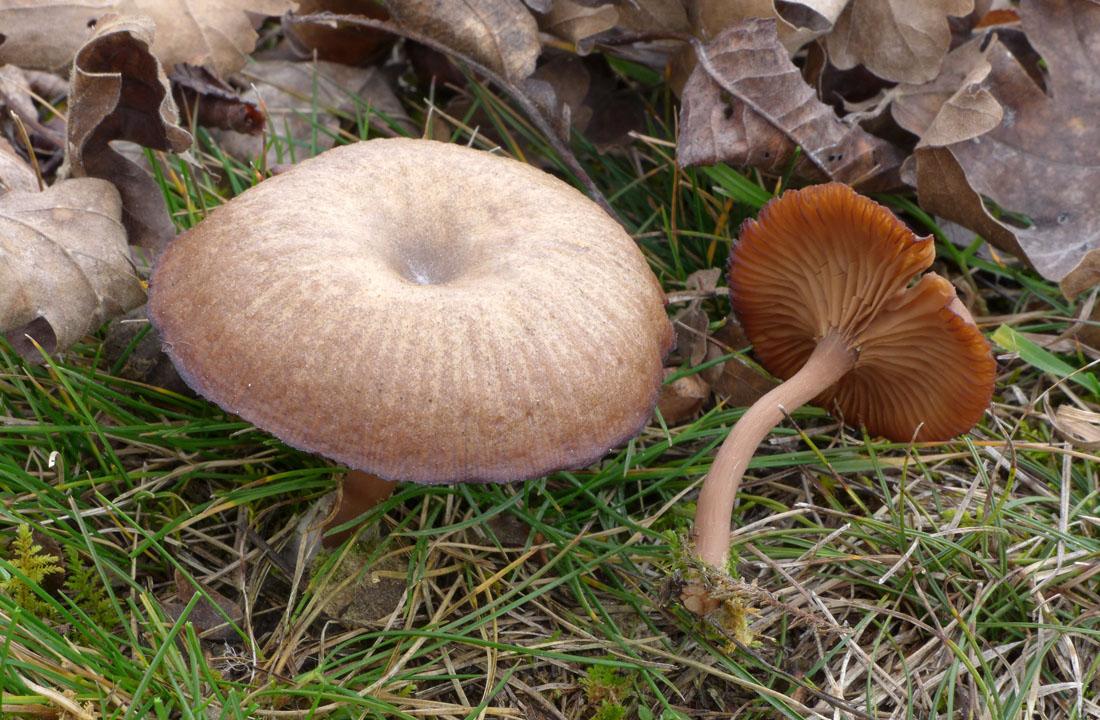 strmělka číškovitá – Pseudoclitocybe cyathiformis - Koněprusy - foto: Aleš Vít