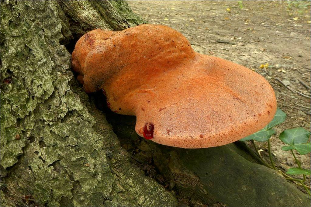 pstřeň dubový (Fistulina hepatica) - foto: Petr Souček